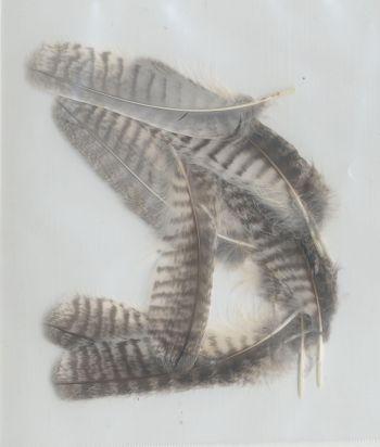 Bild von Federn der Art Ptilopsis leucotis (Büscheleule)