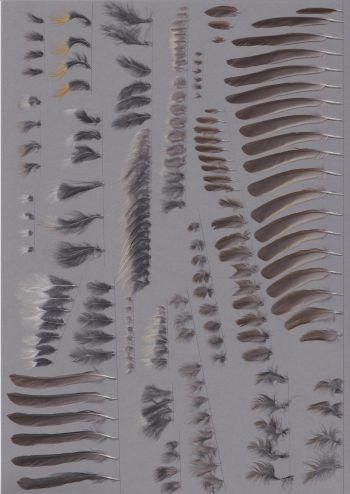 Federbeleg der Art Tarsiger cyanurus