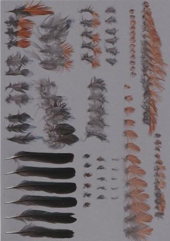 Bild von Federn der Art Monticola solitarius (Blaumerle)