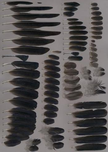 Federbeleg der Art Corvus frugilegus