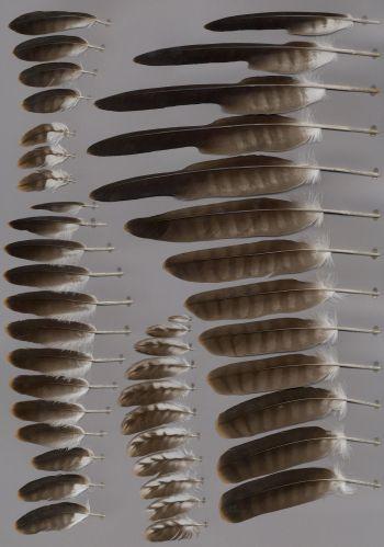 Federbeleg der Art Milvus migrans