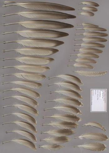 Federbeleg der Art Larus argentatus