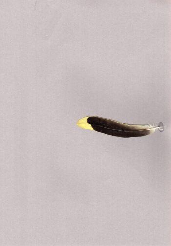 Bild von Federn der Art Oriolus chinensis (Schwarznackenpirol)