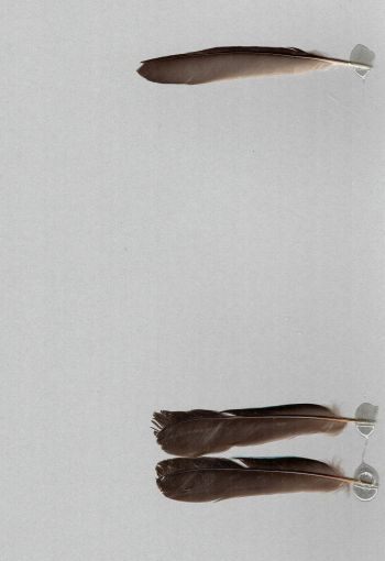 Bild von Federn der Art Cotinga cayana (Türkisblaue Kotinga)