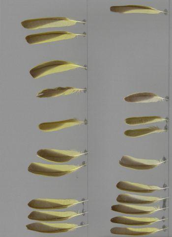 Bild von Federn der Art Ploceus cucullatus (Dorfweber)