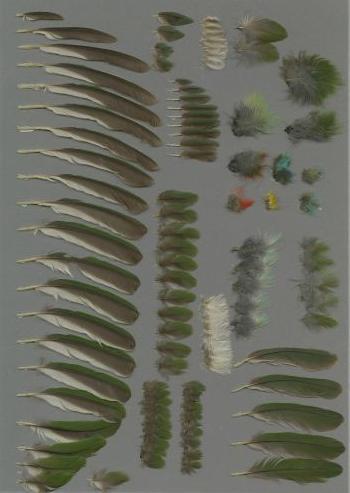 Bild von Federn der Art Psilopogon nuchalis (Schwarzbrauen-Bartvogel)