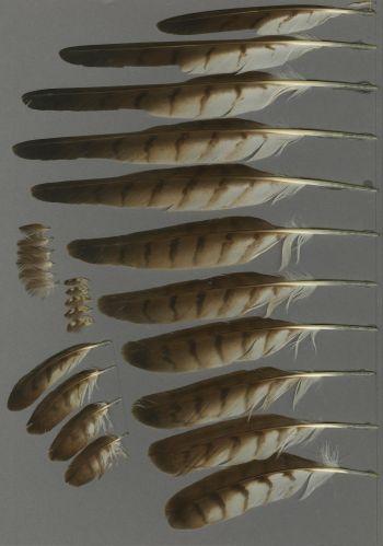 Bild von Federn der Art Butastur indicus (Amurteesa)