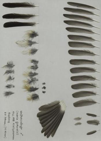 Exhibit of the species Irania gutturalis