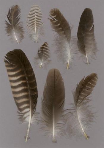 Exhibit of the species Caracara plancus