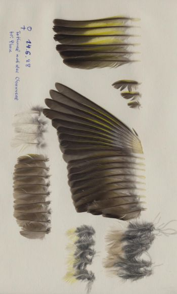 Exemplaires de cette espèce Chloris chloris