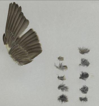 Bild von Federn der Art Oenanthe isabellina (Isabellsteinschmätzer)