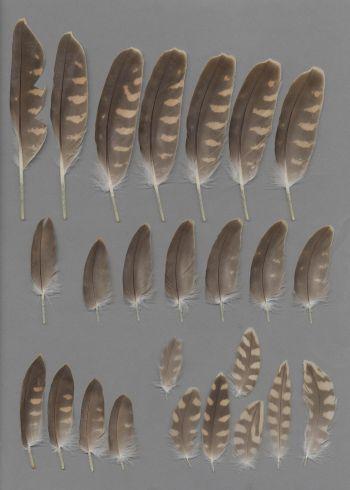 Bild von Federn der Art Falco pelegrinoides (Wüstenfalke)