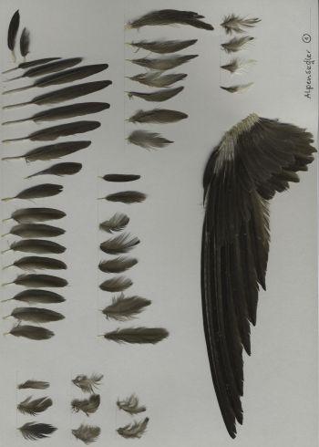 Bild von Federn der Art Tachymarptis melba (Alpensegler)