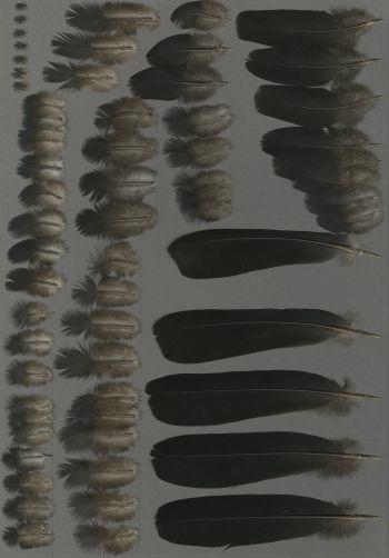 Bild von Federn der Art Columba janthina (Veilchentaube)