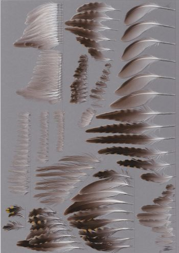 Bild von Federn der Art Pluvialis fulva (Wanderregenpfeifer)
