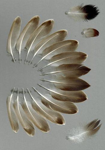 Bild von Federn der Art Mareca strepera (Schnatterente)