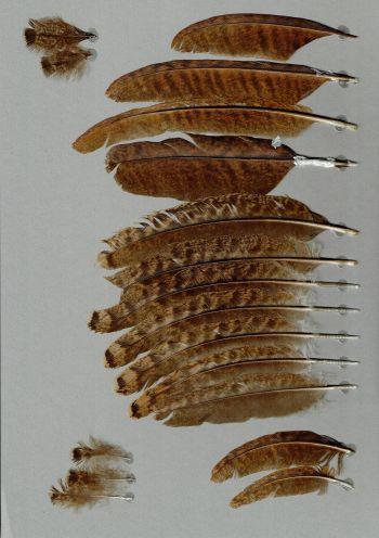 Bild von Federn der Art Pavo cristatus (Blauer Pfau)