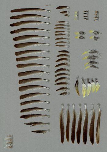Bild von Federn der Art Emberiza melanocephala (Kappenammer)