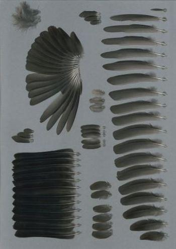 Bild von Federn der Art Turdus merula (Amsel)