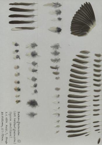 Bild von Federn der Art Curruca cantillans (Weißbart-Grasmücke)
