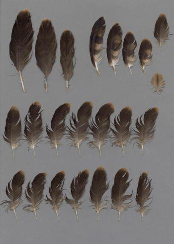 Bild von Federn der Art Circus pygargus (Wiesenweihe)