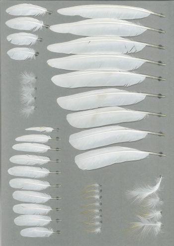 Bild von Federn der Art Bubulcus ibis (Kuhreiher)