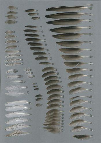Bild von Federn der Art Tringa nebularia (Grünschenkel)