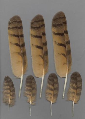 Bild von Federn der Art Bubo bubo (Uhu)