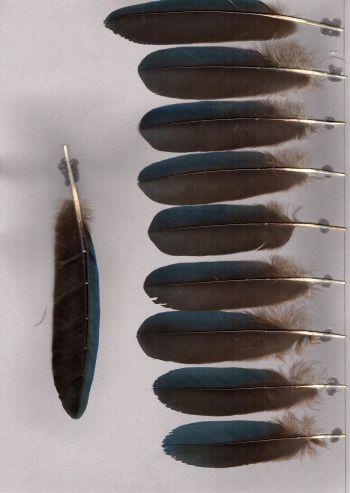 Bild von Federn der Art Porphyrio porphyrio (Purpurhuhn)