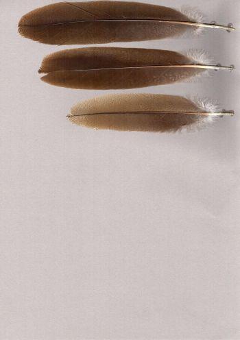Bild von Federn der Art Cariama cristata (Rotfußseriema)