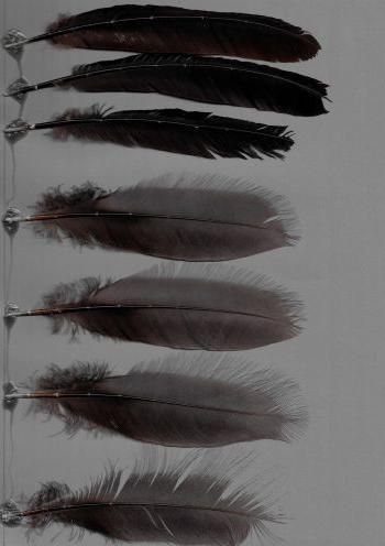 Bild von Federn der Art Psophia crepitans (Grauflügel-Trompetervogel)