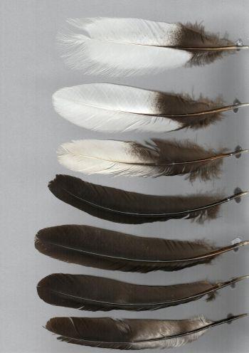 Bild von Federn der Art Psophia leucoptera (Weißflügel-Trompetervogel)