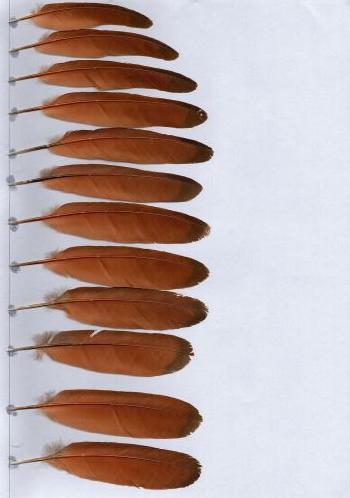 Bild von Federn der Art Centropus anselli (Ansellkuckuck)