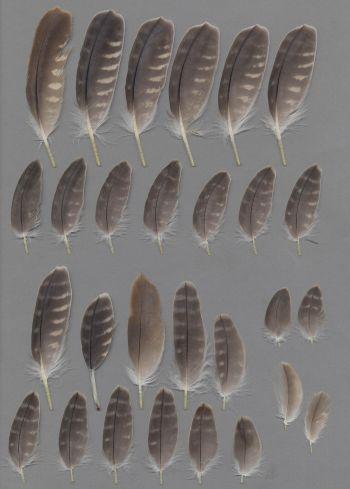 Bild von Federn der Art Falco biarmicus (Lannerfalke)