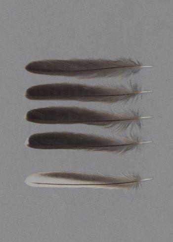Bild von Federn der Art Curruca hortensis (Westliche Orpheusgrasmücke)