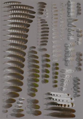 Exhibit of the species Chrysococcyx klaas