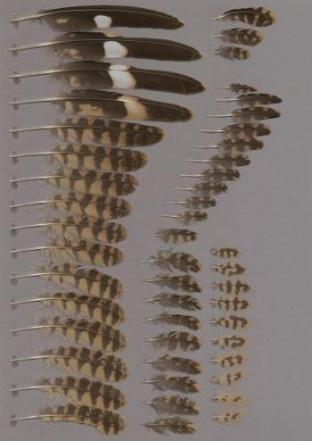 Exhibit of the species Caprimulgus macrurus