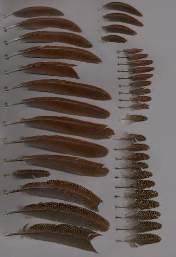 Ver montajes de la especie Argusianus argus
