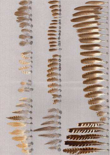 Bild von Federn der Art Cacomantis castaneiventris (Rostbauchkuckuck)