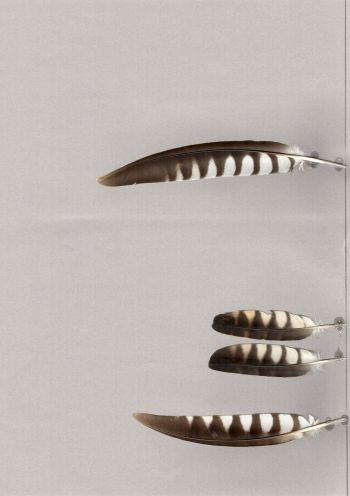 Bild von Federn der Art Cuculus sparverioides (Sperberkuckuck)