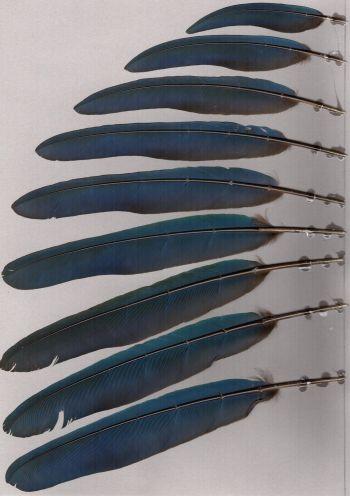 Bild von Federn der Art Corythaeola cristata (Riesenturako)