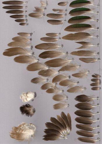 Bild von Federn der Art Callonetta leucophrys (Rotschulterente)