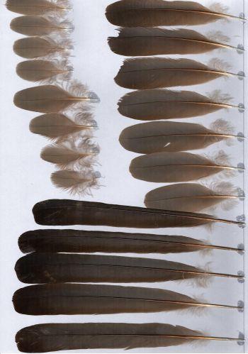 Bild von Federn der Art Corythaixoides concolor (Graulärmvogel)