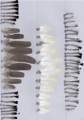 Bild von Federn der Art Corythaixoides leucogaster (Weißbauch-Lärmvogel)