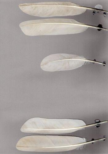 Exemplaires de cette espèce Threskiornis bernieri