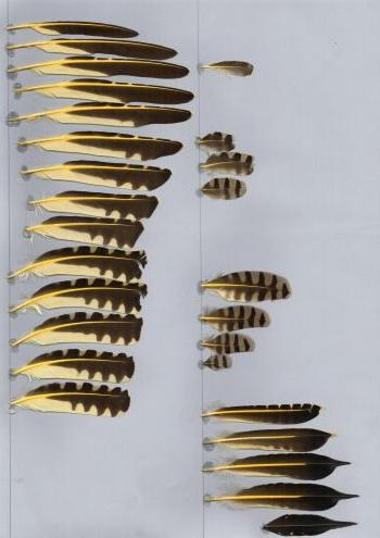 Exemplaires de cette espèce Colaptes auratus