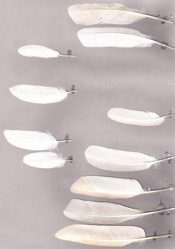 Exemplaires de cette espèce Eudocimus albus
