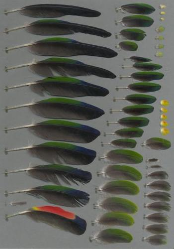 Exemplaires de cette espèce Amazona aestiva