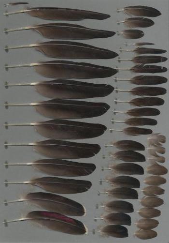 Exemplaires de cette espèce Speculanas specularis