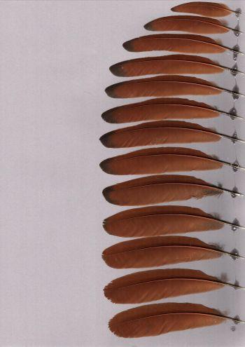 Bild von Federn der Art Centropus bengalensis (Bengalenkuckuck)
